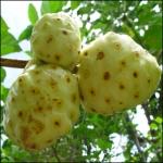 Morinda-Citrifolia.nonifruit