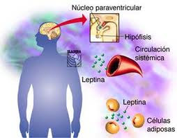 leptina2